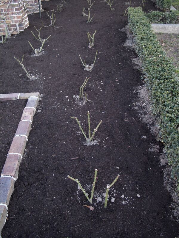 Bare Root Roses Planted