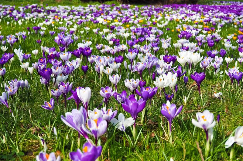 crocus bulbs in grass