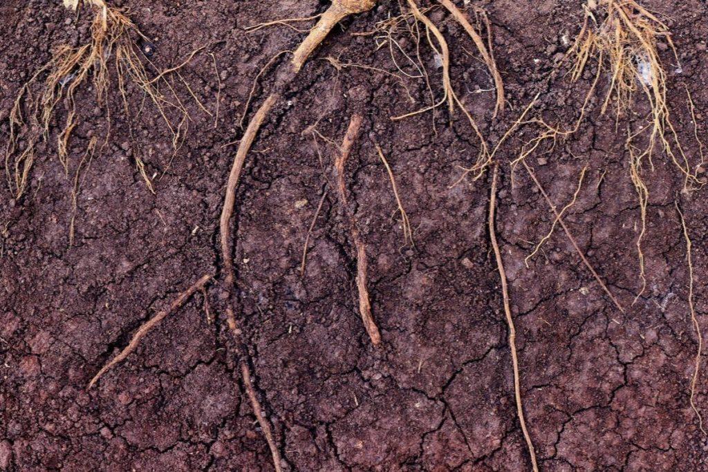Mycorrhizal Funghi