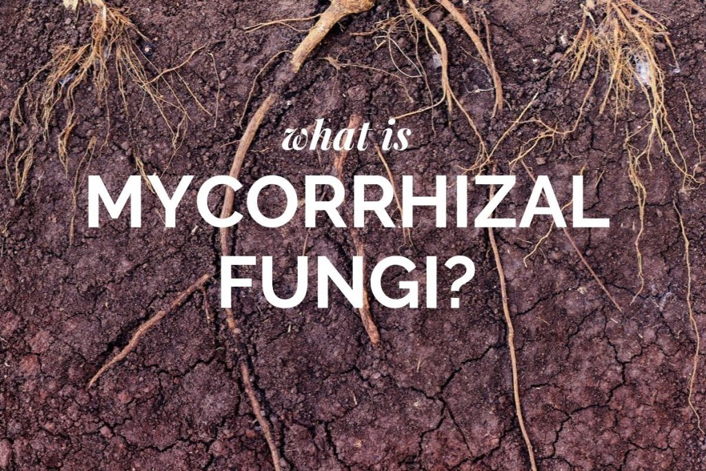What Is Mycorrhizal Funghi