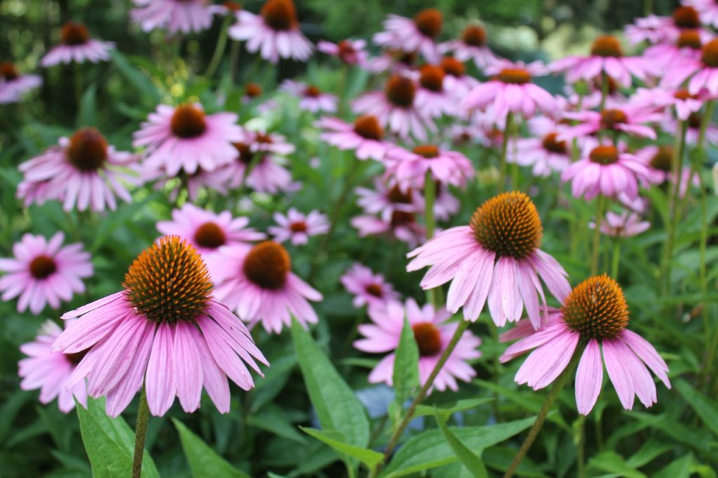 When How To Divide Perennial Plants How To Plant Your Garden