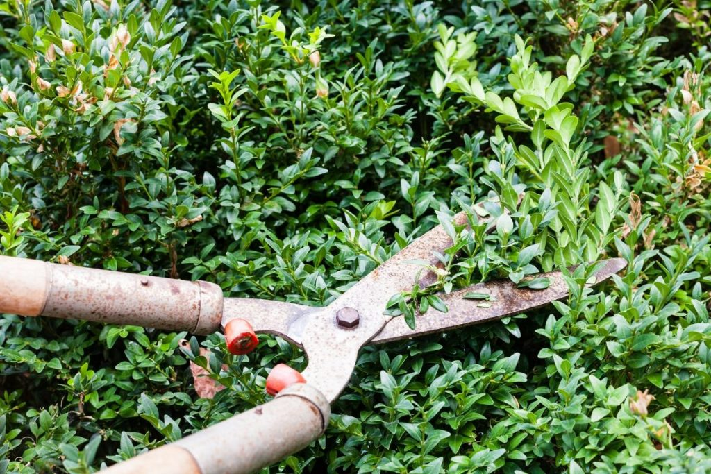 When To Trim Boxwood
