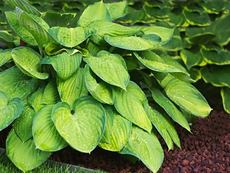 Hosta Clay Soil