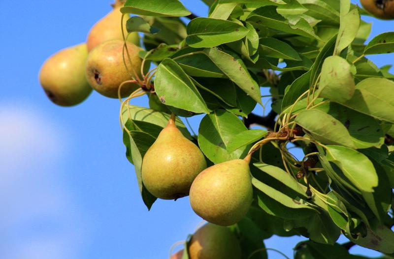 Pear Rootstock