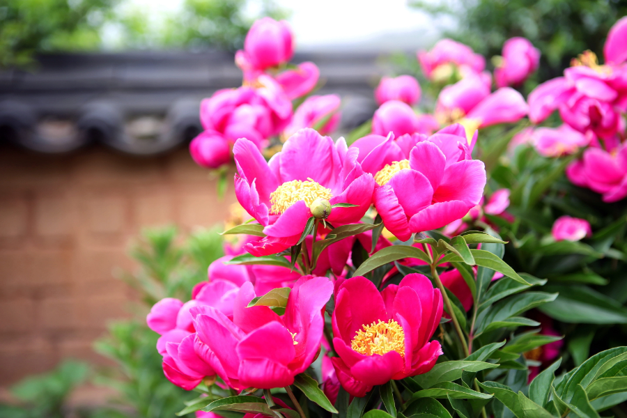 Peonies Perennial