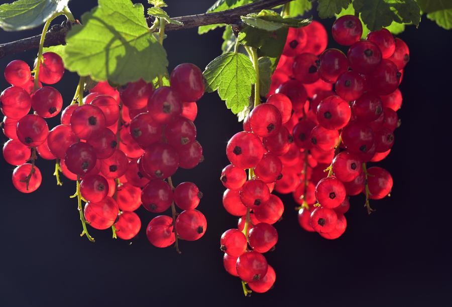 When To Plant Red Currants