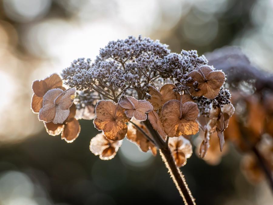 Dead Hydrangea Bloom
