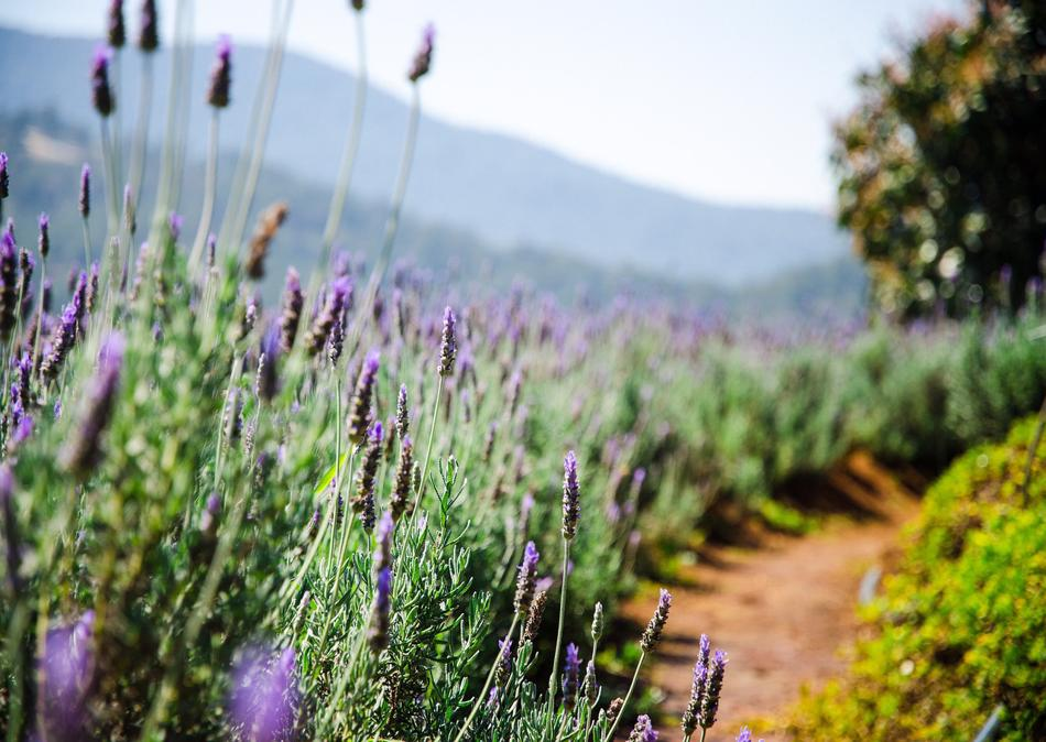 Lavender Planting