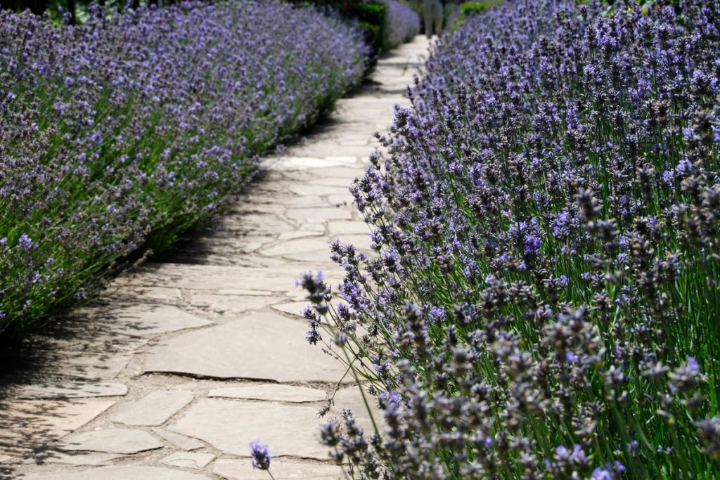 Grow Lavender As A Hedge