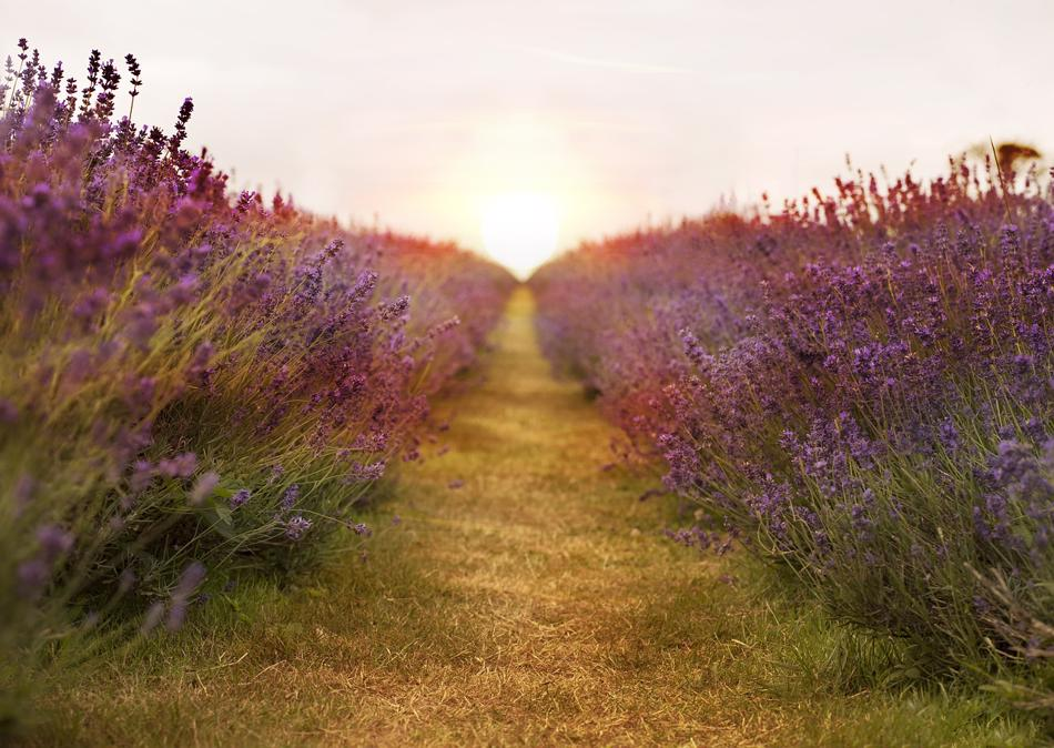 Lavender Edge A Path