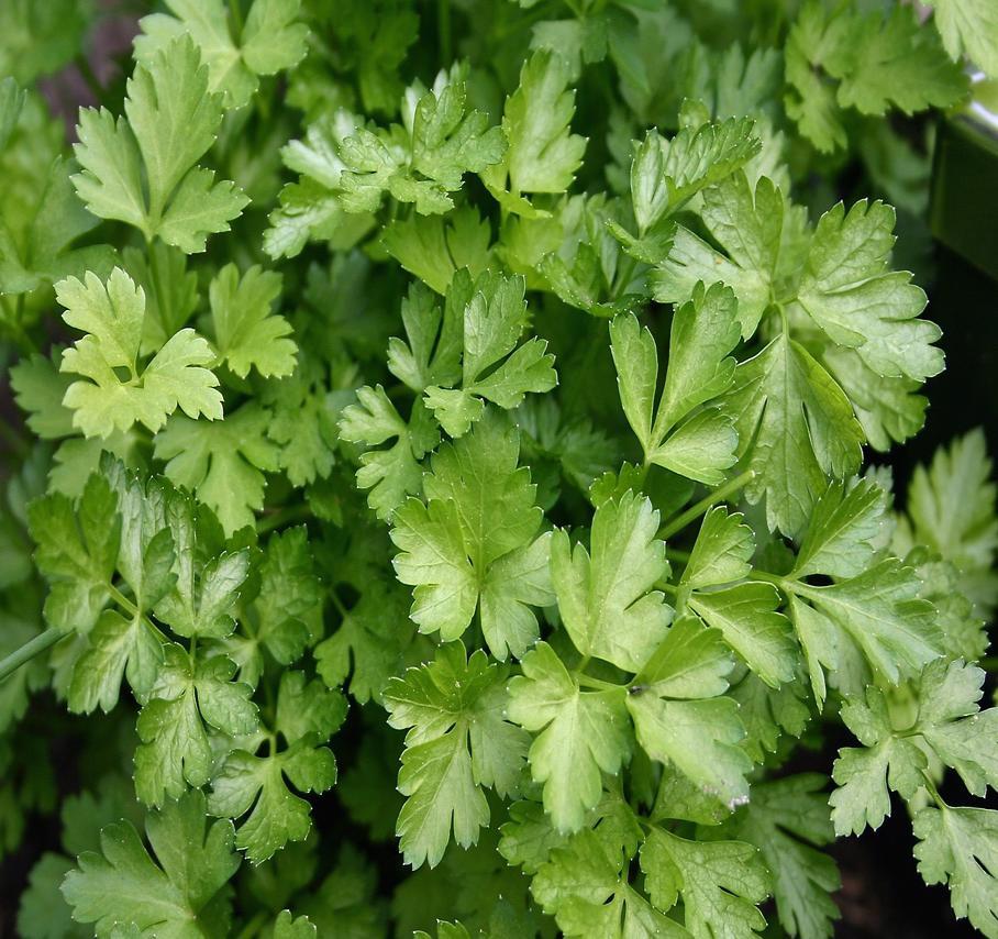 Parsley Biennial