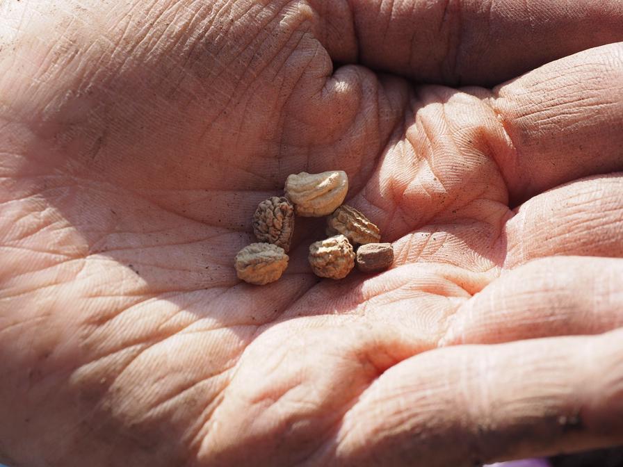 Sowing Nasturtium Seeds