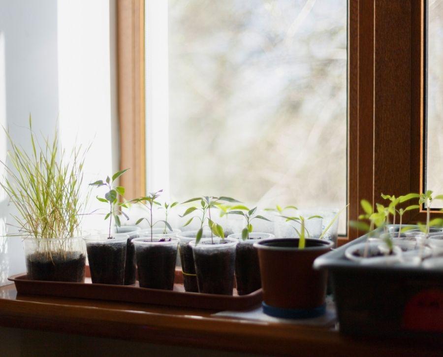 Seeds Grown On Windowsill