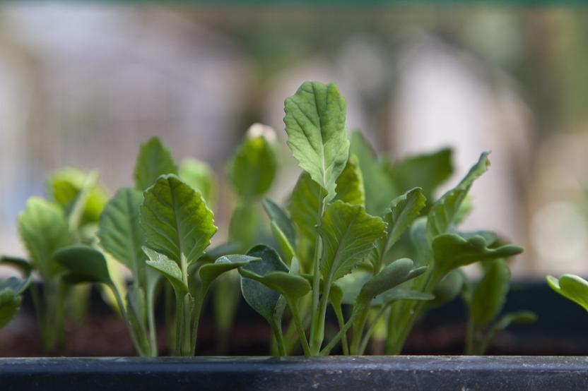 How Long To Harden Off Seedlings
