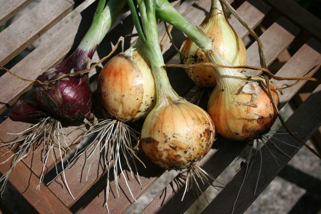 Harvesting Onions