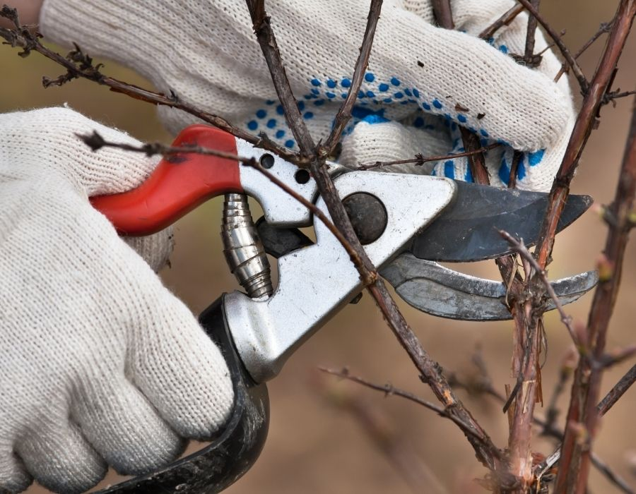 Pruning shrub in spring