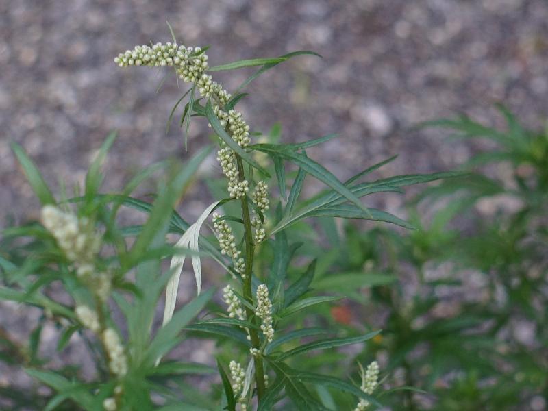 Artemisia Flower